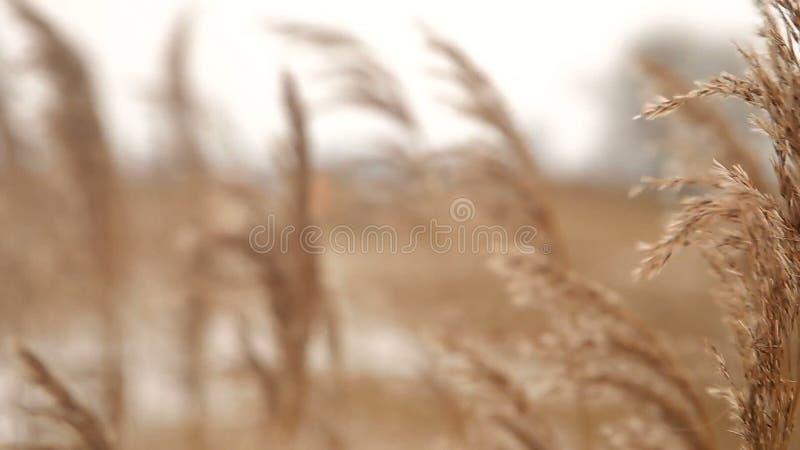 由冬天河沿的干燥芦苇 股票录像
