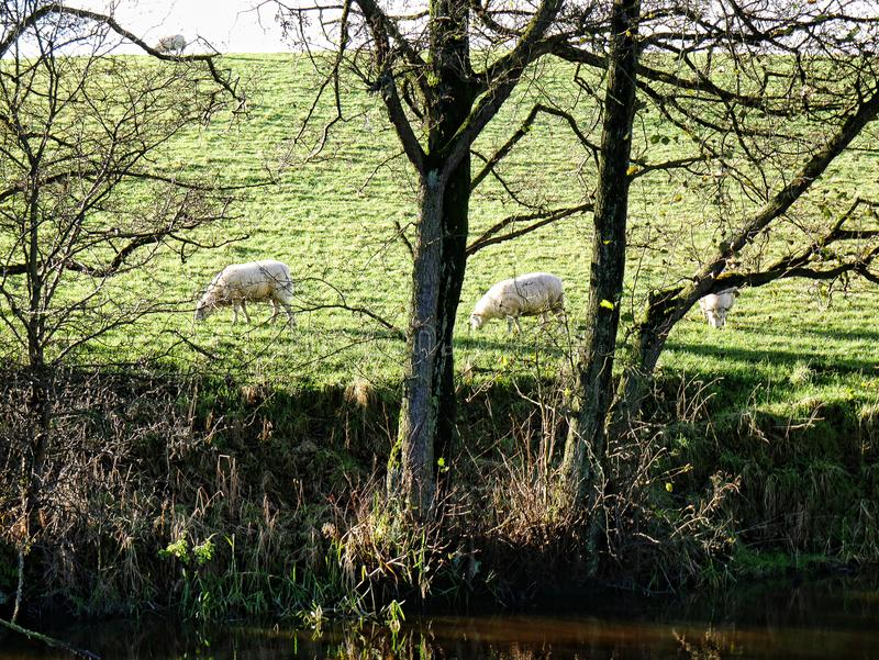 由利兹利物浦运河的绵羊在Salterforth在兰开夏郡约克夏边界的美丽的乡下在北英国 免版税库存图片