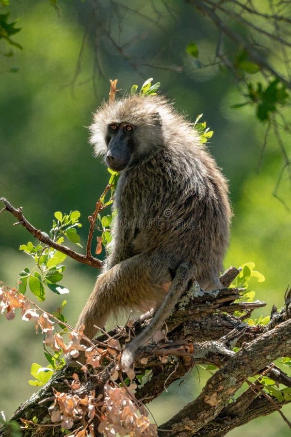 由后照的橄榄色的狒狒在被缠结的分支坐 免版税库存图片