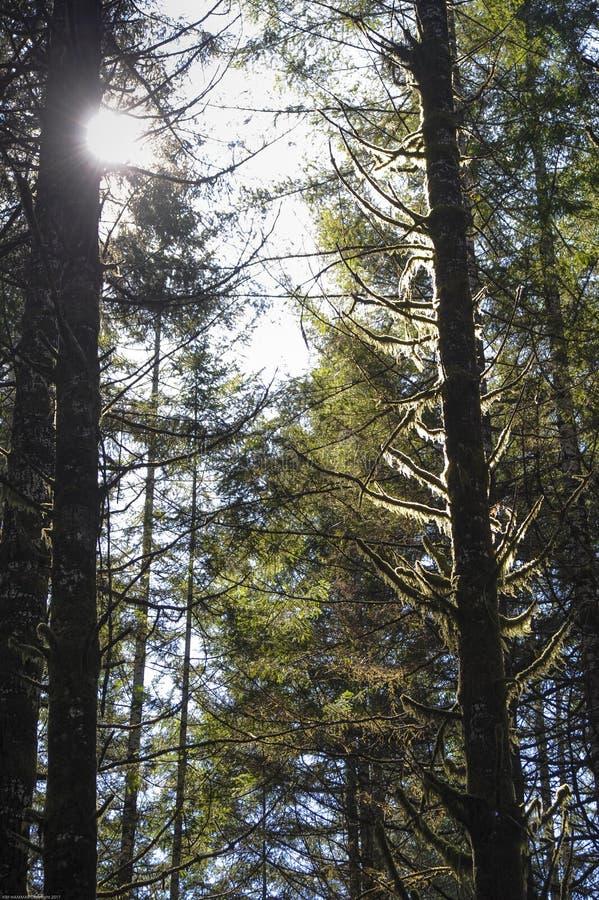 由后照的青苔从在国王Valley Highway的树垂悬在俄勒冈 免版税库存图片