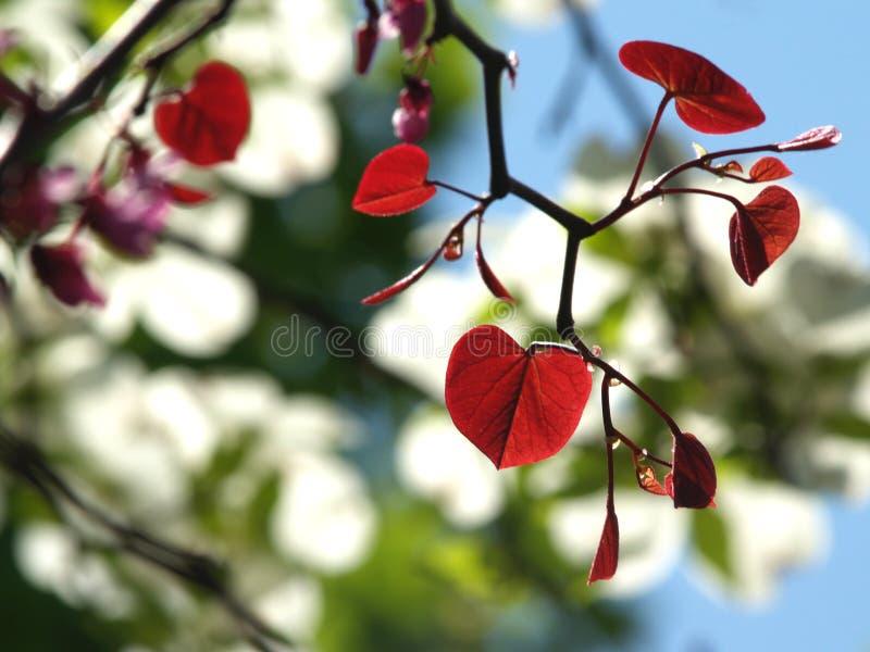 由后面照的森林离开蝴蝶花redbud 免版税库存图片
