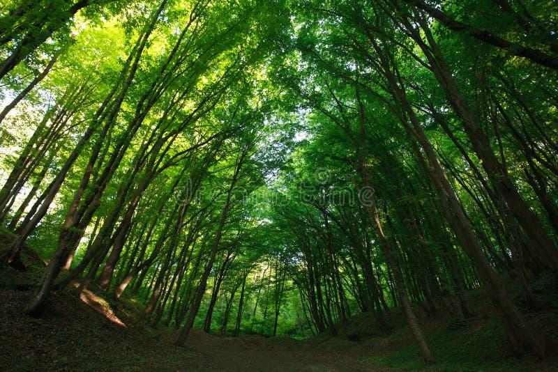 由后面照的神秘的夏天绿色森林太阳 免版税库存图片