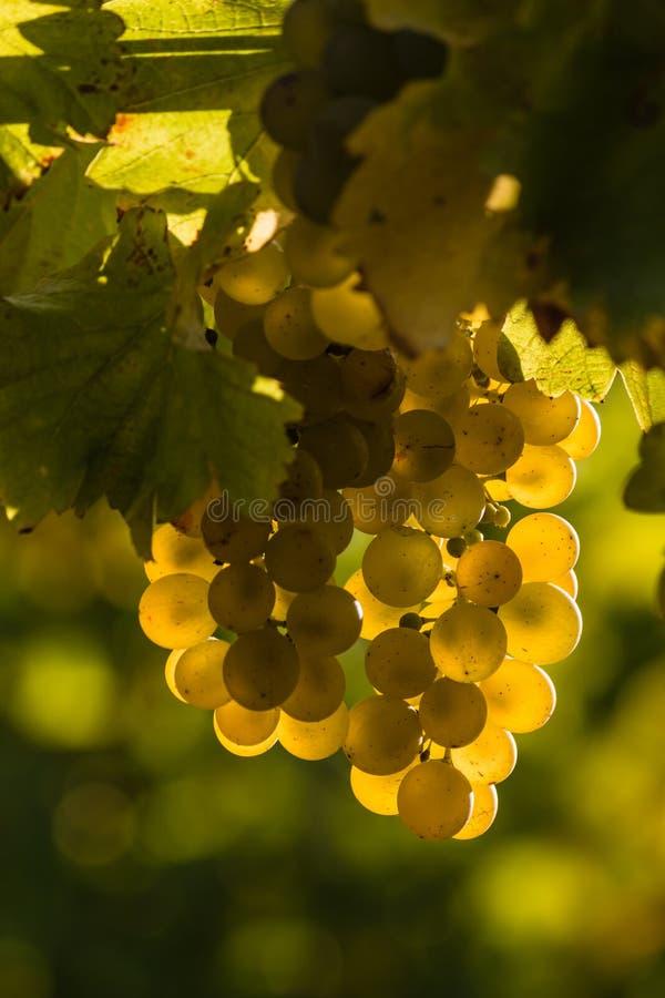由后面照的赤霞珠blanc葡萄 库存照片