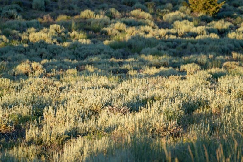 由后面照的鼠尾草在东部山脉山高沙漠  在刷子的中间区域的选择聚焦,有用为摘要 免版税库存图片