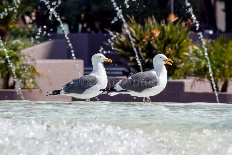由喷泉的海鸥 库存图片