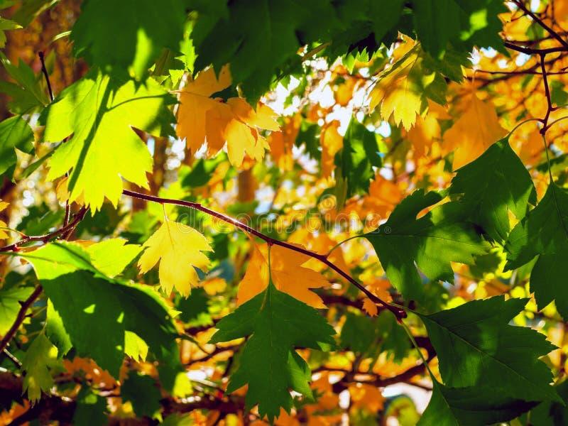 由太阳光芒的黄色和绿色叶子升 五颜六色的背景 秋天金黄叶子 免版税库存图片