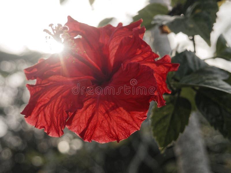 由太阳的红色木槿闪电 免版税图库摄影