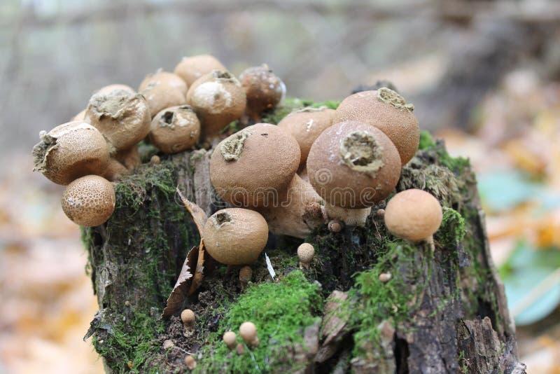 由孢子再生产的蘑菇 图库摄影