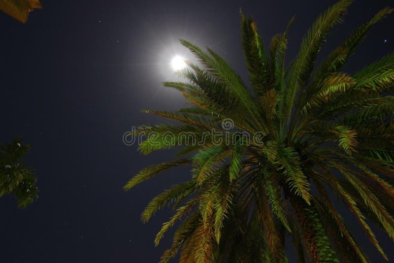由月光的可可椰子树 库存图片