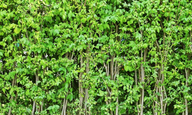 由树做的篱芭 库存照片