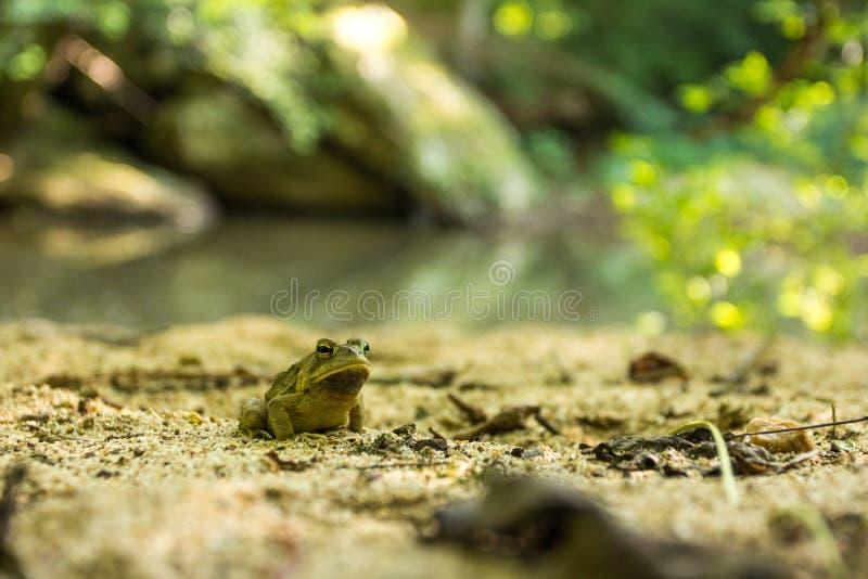 由桑迪夏天小河的蟾蜍 库存照片