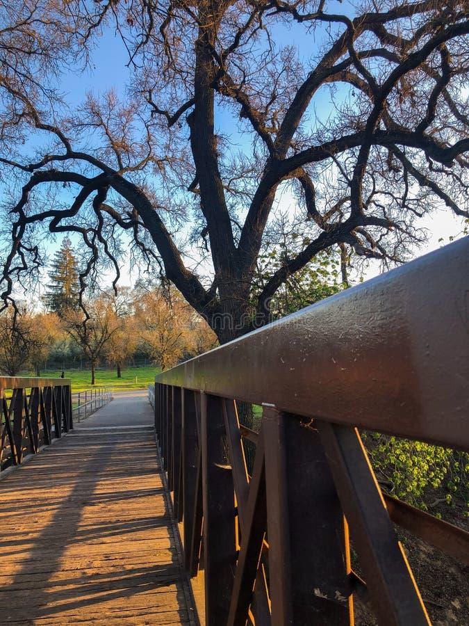 由桥梁的巨型拖钓树 库存照片