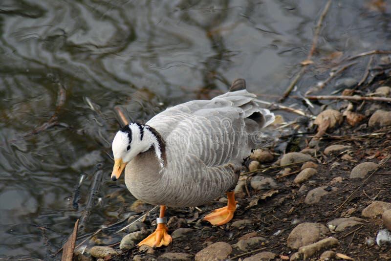 由水的灰色滞后鹅分析服务公司分析服务公司鸟画象 免版税库存图片