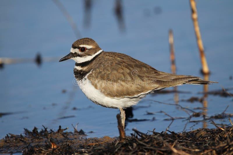 由池塘的双胸斑沙鸟 免版税库存照片