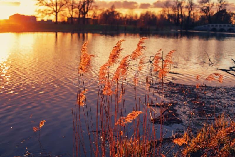 由河的芦苇 图库摄影