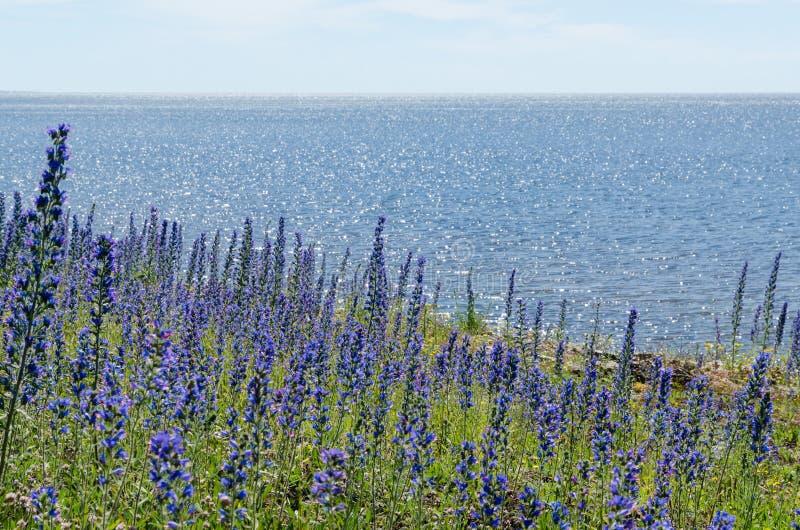 由海岸的明亮的开花蓝蓟花与水反射 免版税库存图片