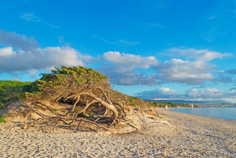由海的杉木 免版税图库摄影