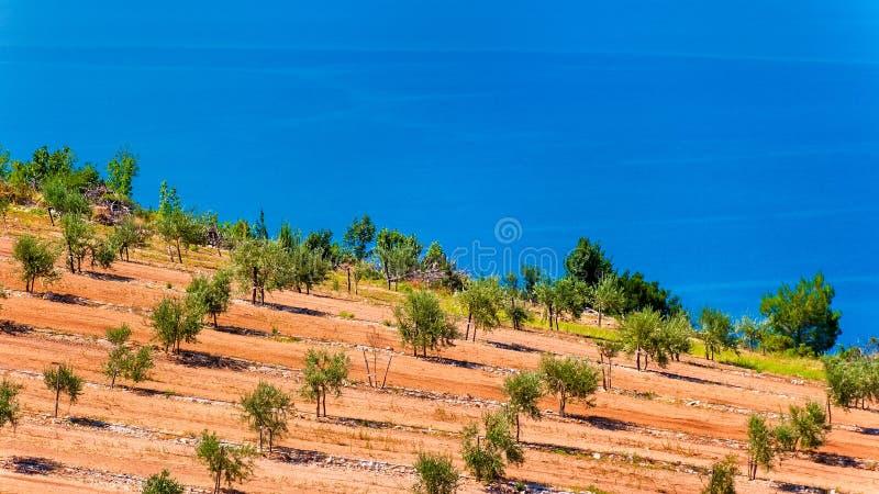由海的橄榄树小树林在达尔马提亚 图库摄影