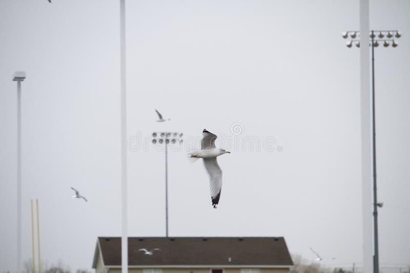 由海鸥的飞行 免版税库存图片