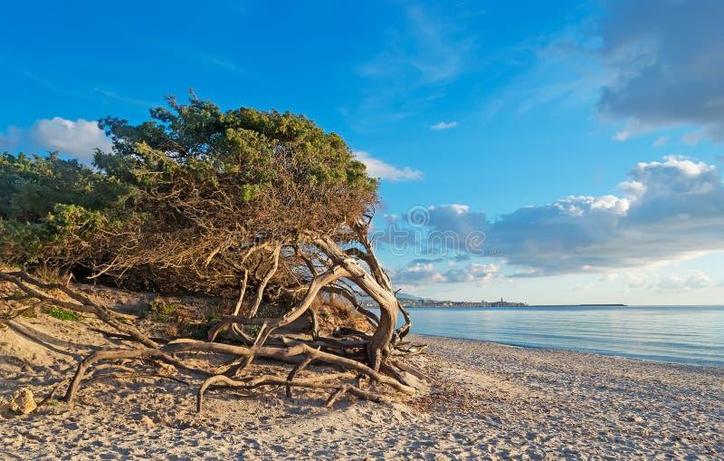 由海滩的杉木 免版税库存图片