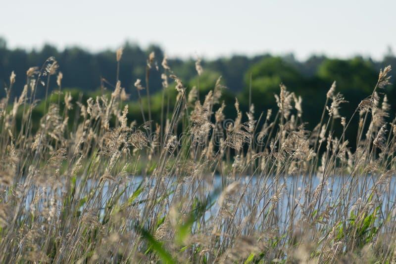 由湖的芦苇 免版税库存图片