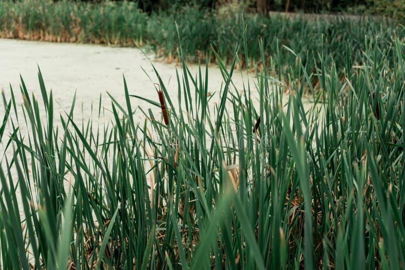 由湖,一个春日的芦苇,本质上,池塘长满与草,在公园在一个冰晚上 与泥的绿色水 库存图片