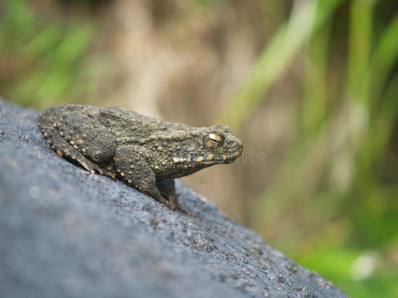 由瀑布的一只青蛙 库存照片