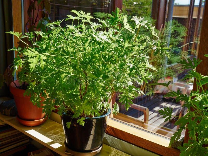 由窗口的美丽的充满活力的房子植物 图库摄影