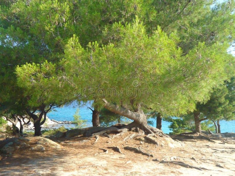 由蓝色海的令人惊讶的绿色树在希腊 图库摄影
