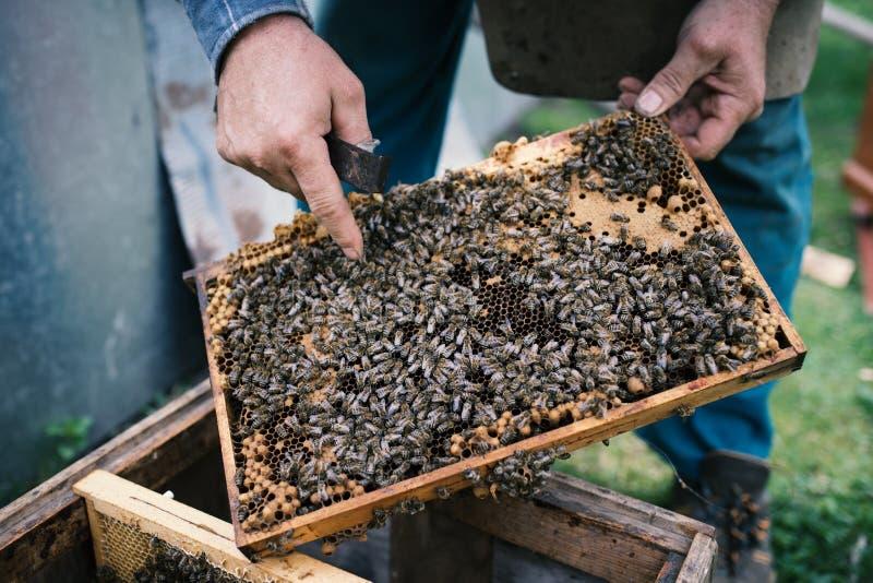 由蜂完全地盖的Beekeper与蜂窝一起使用 在养蜂家的手上的细节 库存图片