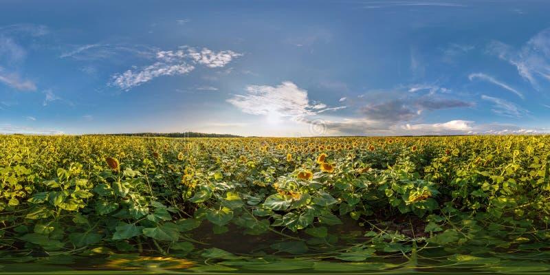 由180度的充分的无缝的球状全景360在开花的向日葵领域中的角度图在晴朗的夏天晚上  库存照片