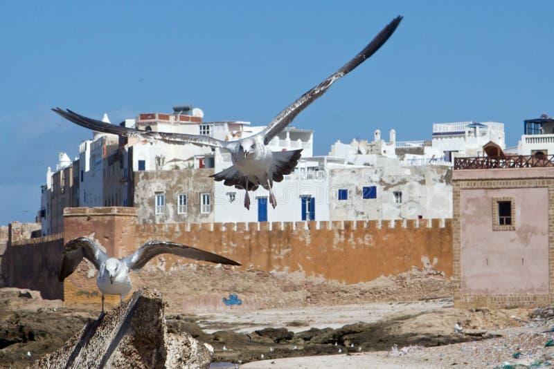 由索维拉,摩洛哥麦地那老墙壁的海鸥  免版税图库摄影