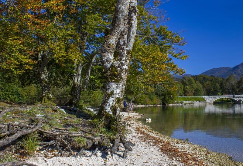 由Bohinj湖的老树在斯洛文尼亚 免版税库存照片