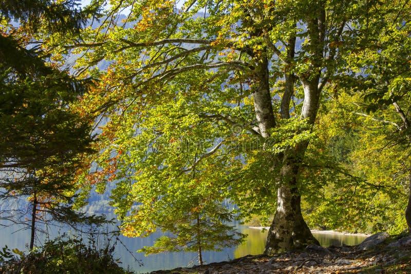由Bohinj湖,斯洛文尼亚的老树 库存图片