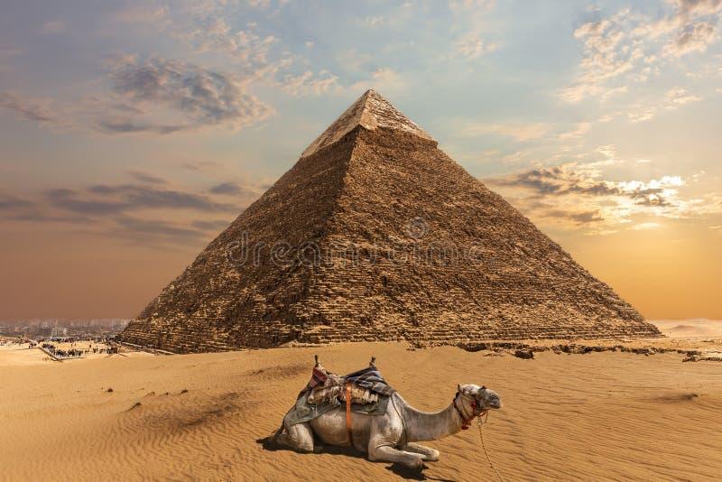 由Chephren,吉萨棉,埃及金字塔的一头骆驼  库存图片