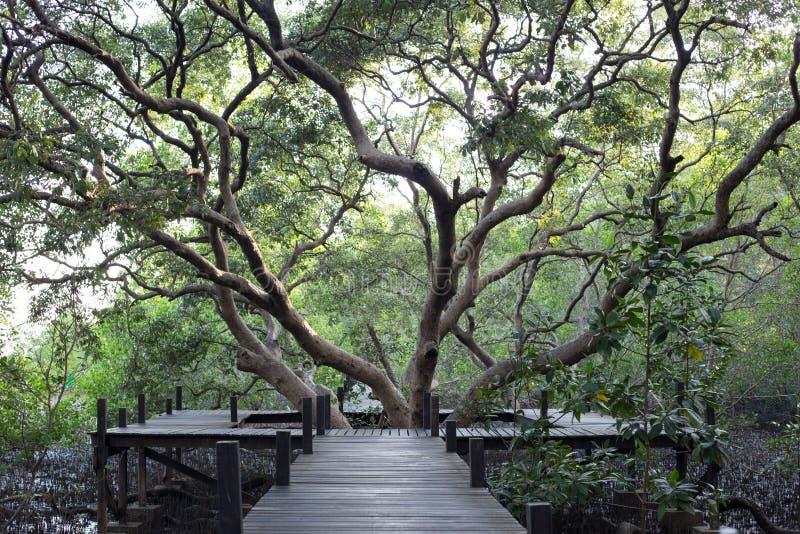 由Thung橛皮带森林的木头和美洲红树领域做的走道 库存图片