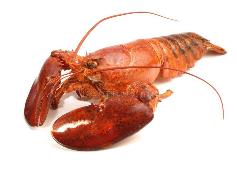 甲壳动物-在白色的龙虾 免版税库存图片