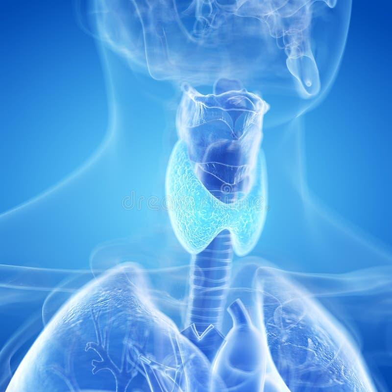 甲状腺 向量例证
