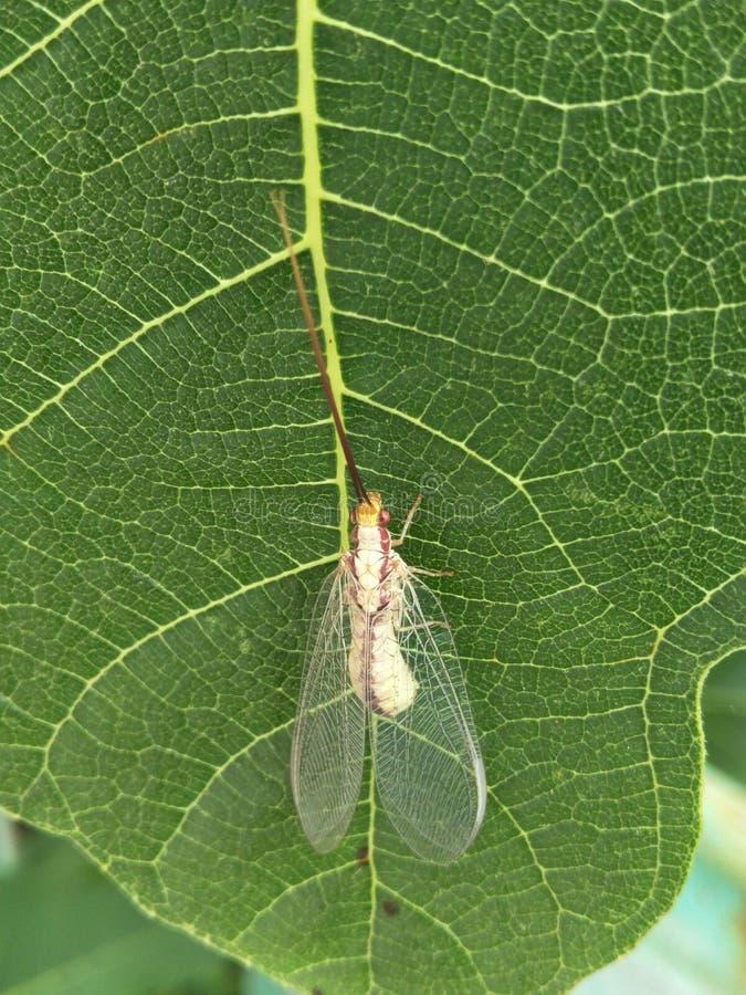 甲虫与透明透雕细工翼和一根长的髭的草蜻蛉zlatoglazka坐无花果绿色板料  写的一个地方 免版税库存图片