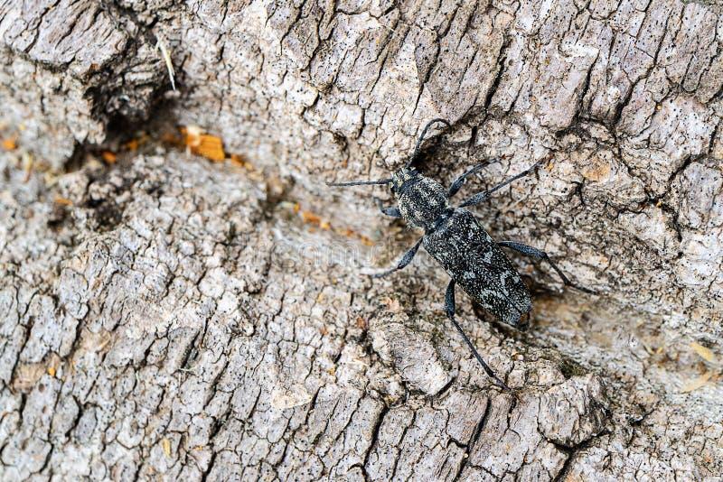 甲虫假装白杨树的树干,树的吠声的颜色 免版税库存图片