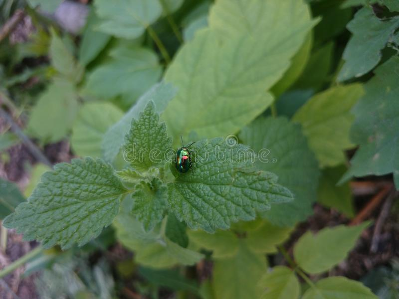 甲虫变色蜥蜴 免版税库存照片