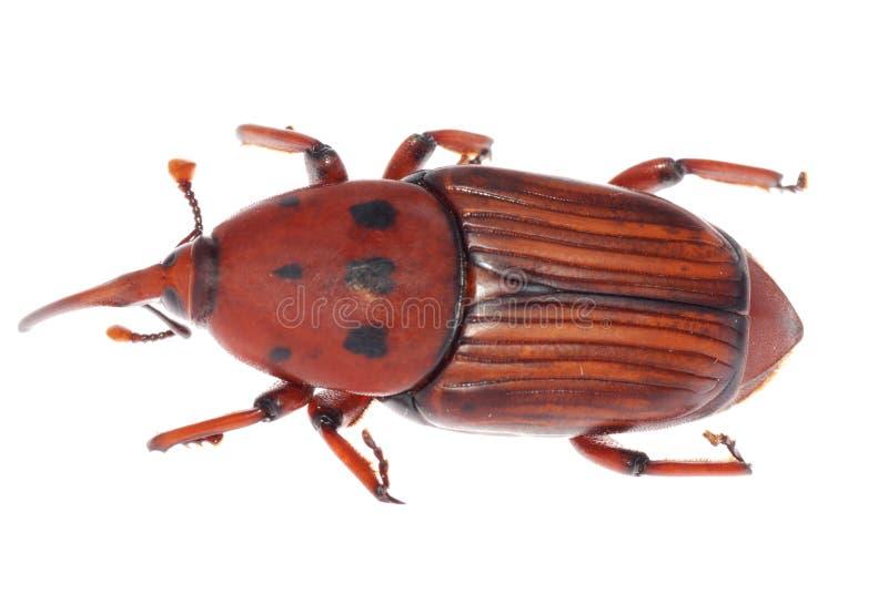 甲虫口鼻部象鼻虫 免版税图库摄影