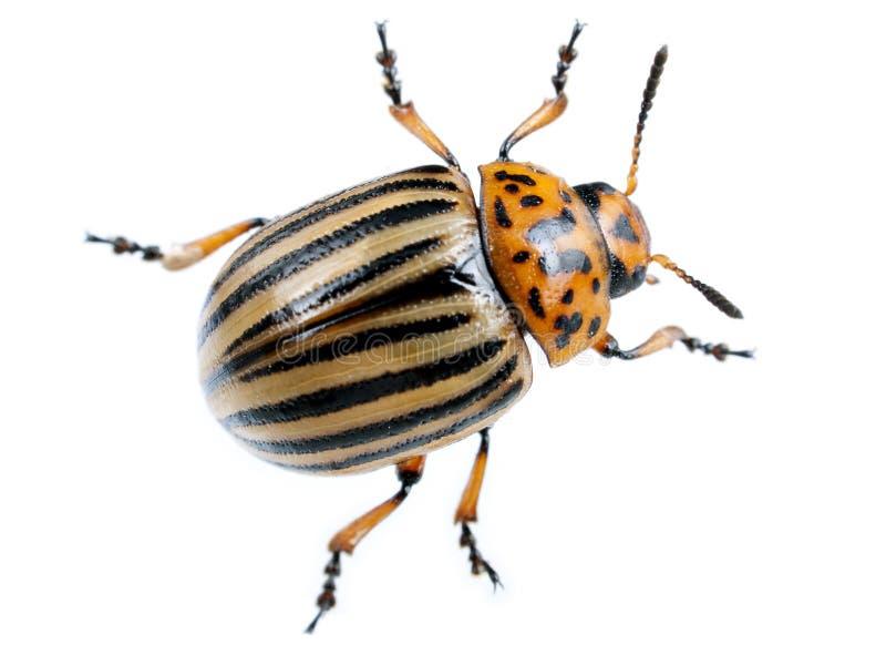 甲虫在土豆白色的科罗拉多宏指令 图库摄影