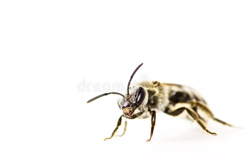甲虫在白色被隔绝 库存图片