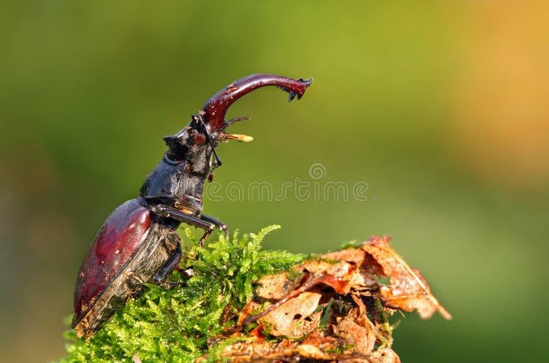 甲虫少见雄鹿 免版税库存图片