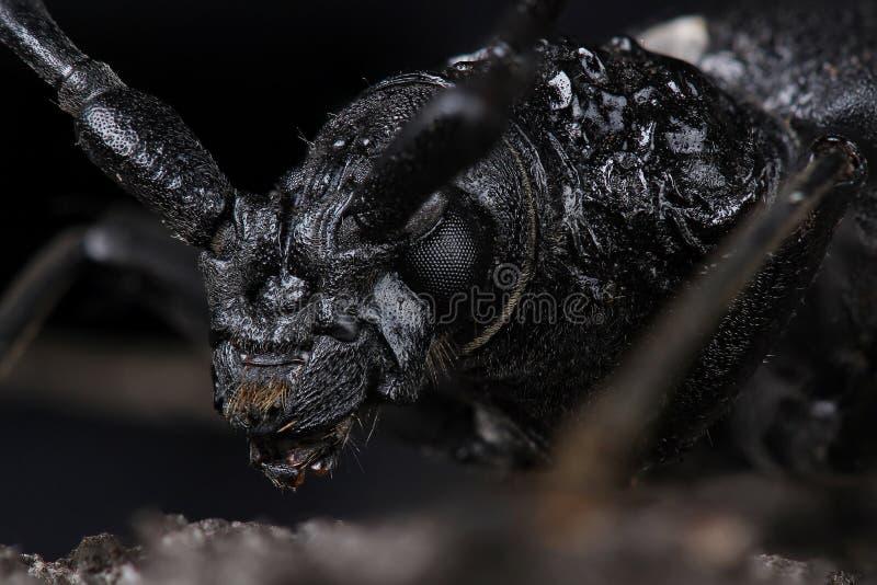 甲虫山羊座极大cerambyx的cerdo 库存图片