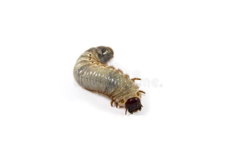 甲虫幼虫 免版税库存照片