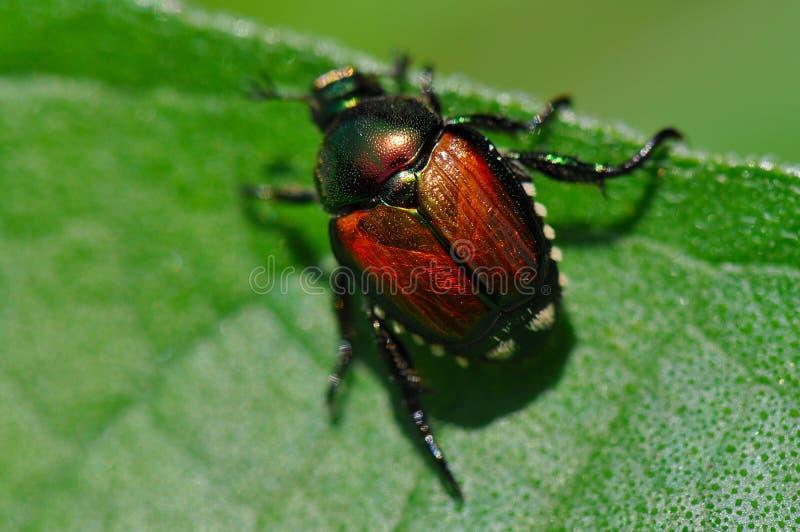 甲虫日本人叶子 库存图片