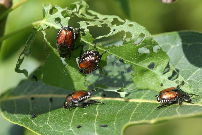 甲虫日语 库存照片
