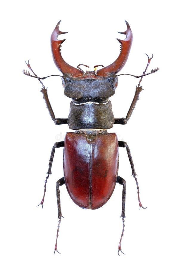 甲虫查出的雄鹿 免版税库存图片